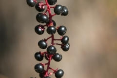 Pokeweed Berries (Phytolacca americana), Canon 70-200 2.8L IS
